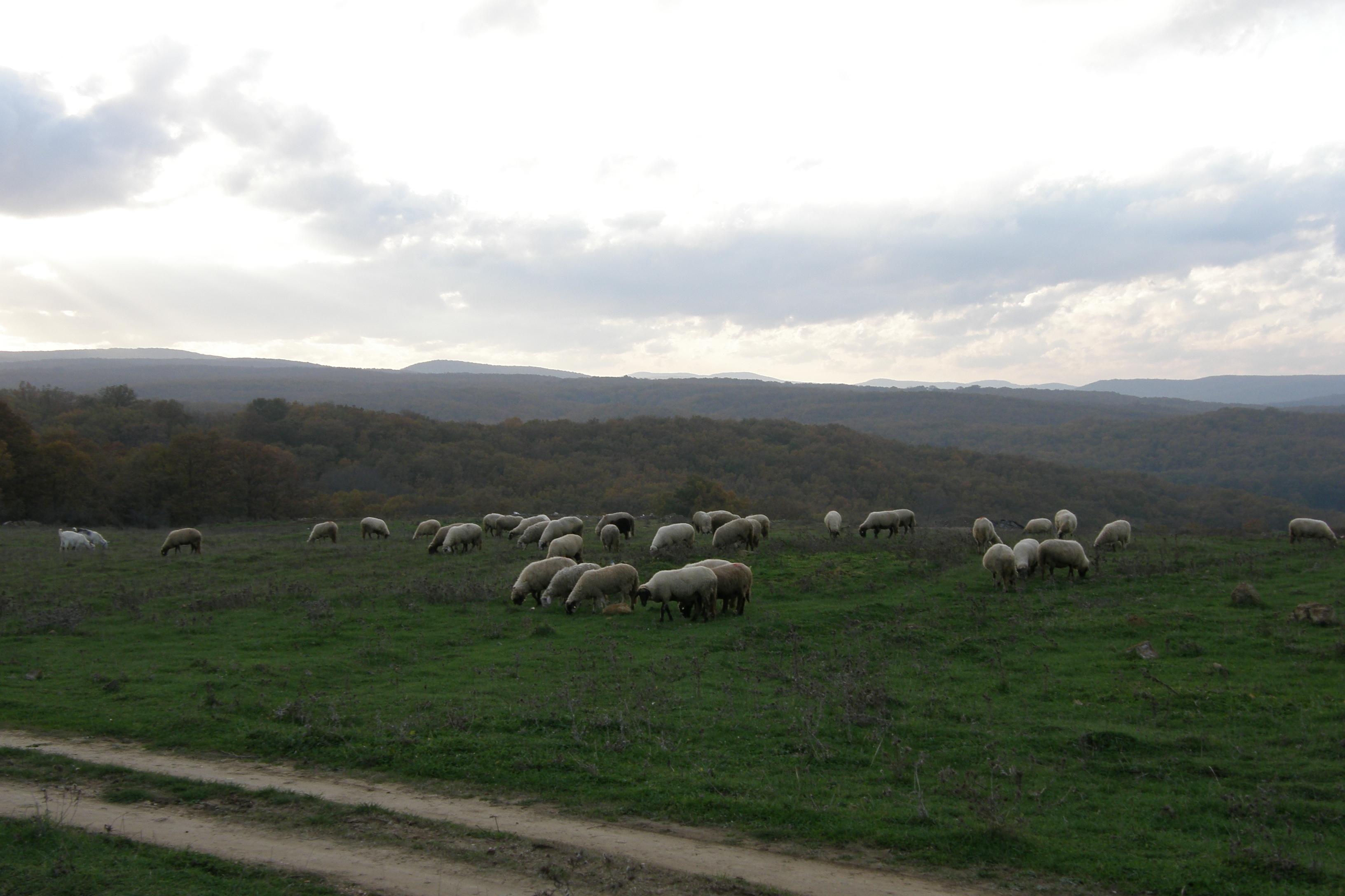 Пасящи овце в Синеморец